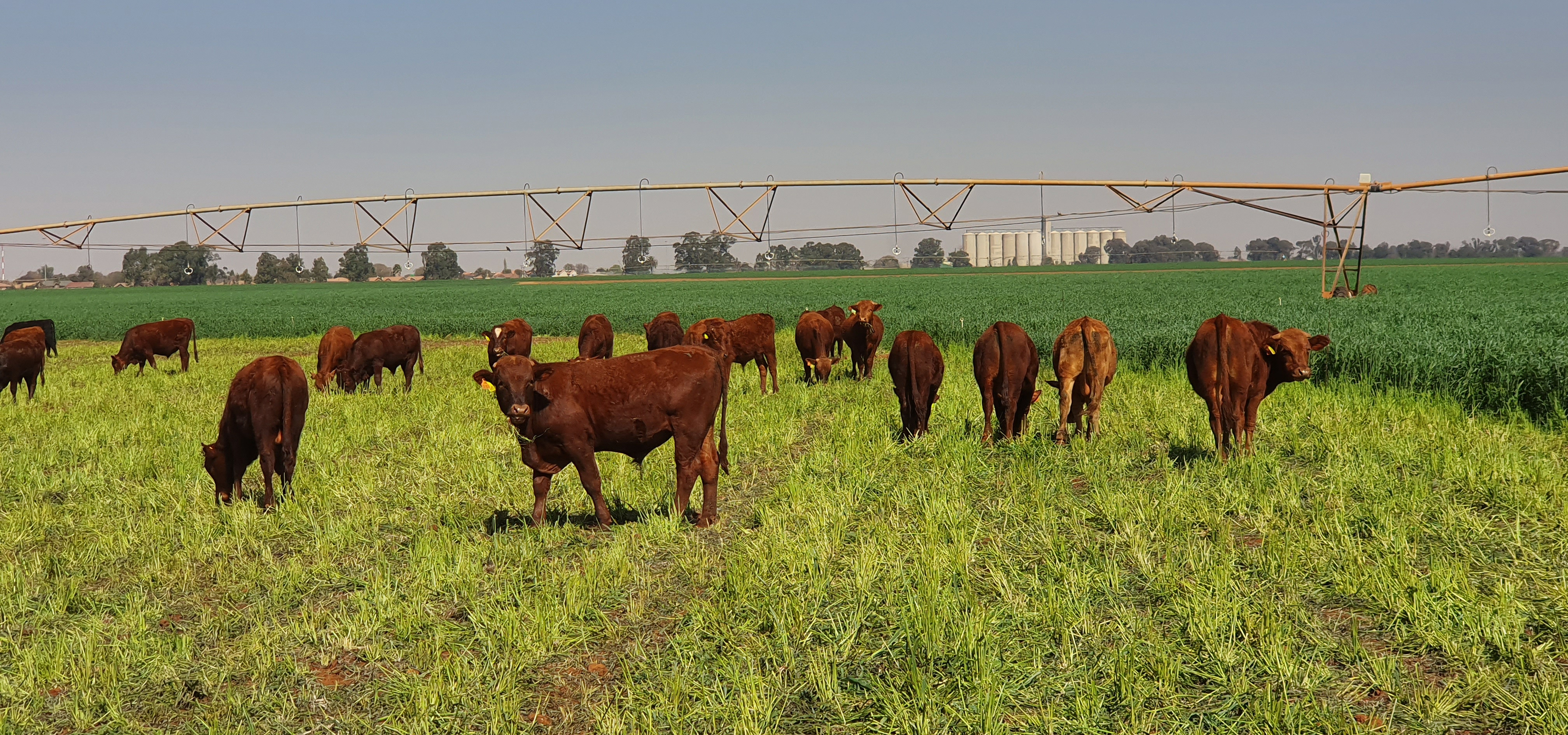 cattle grazing on green pasture